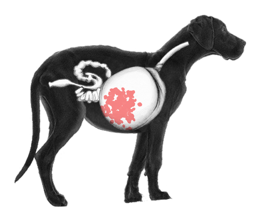 A diagram of a black Great Dane with a bloated stomach.