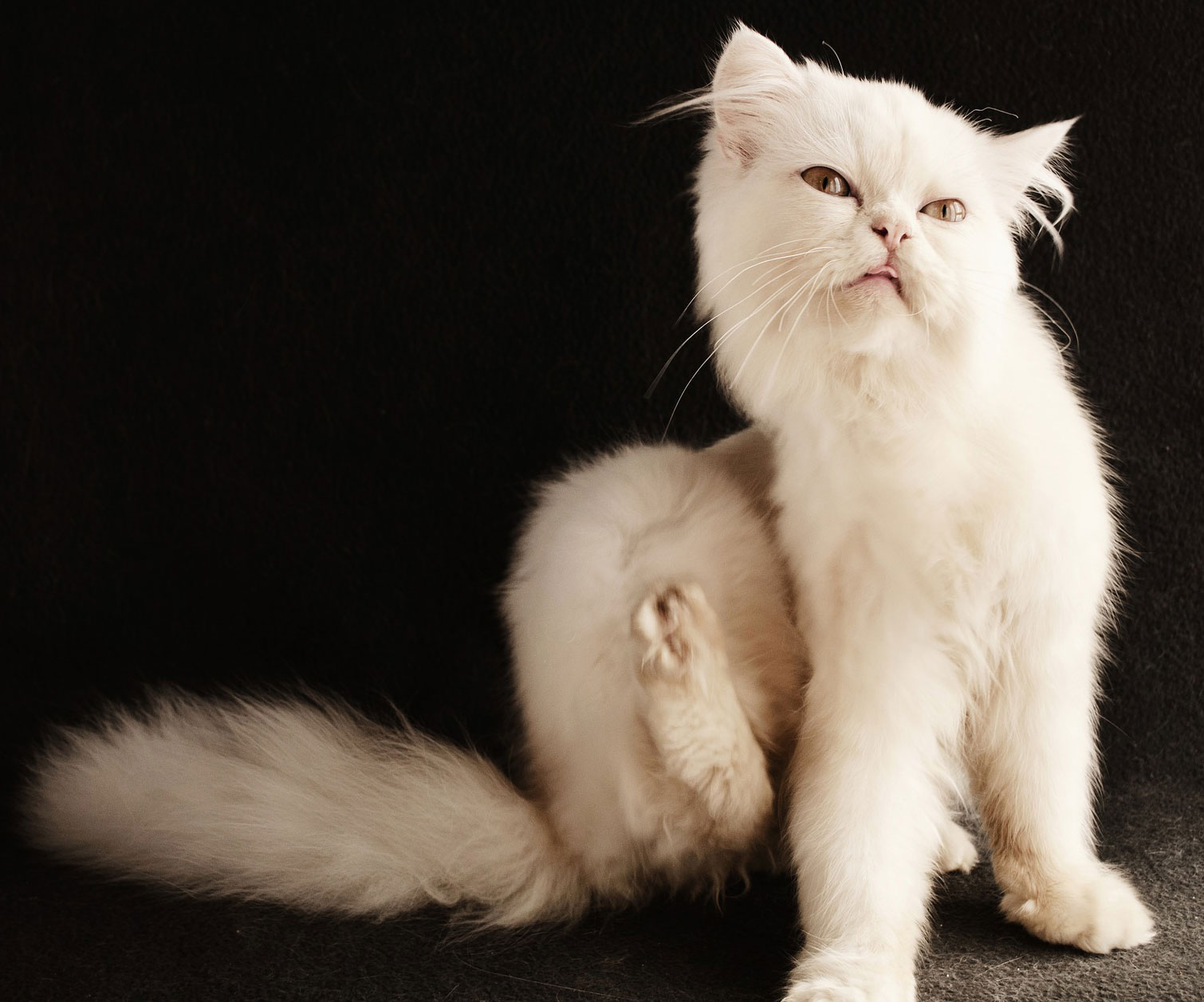 A fluffy white cat scratches her side with her hind leg.