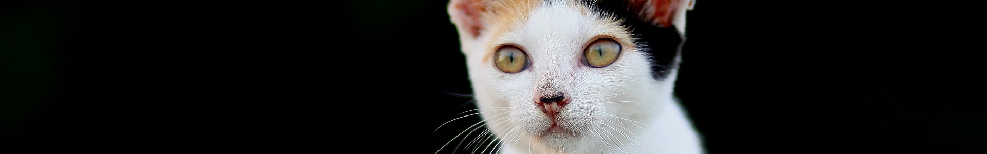 A young calico cat with a white face and yellow eyes looks out from a black background.