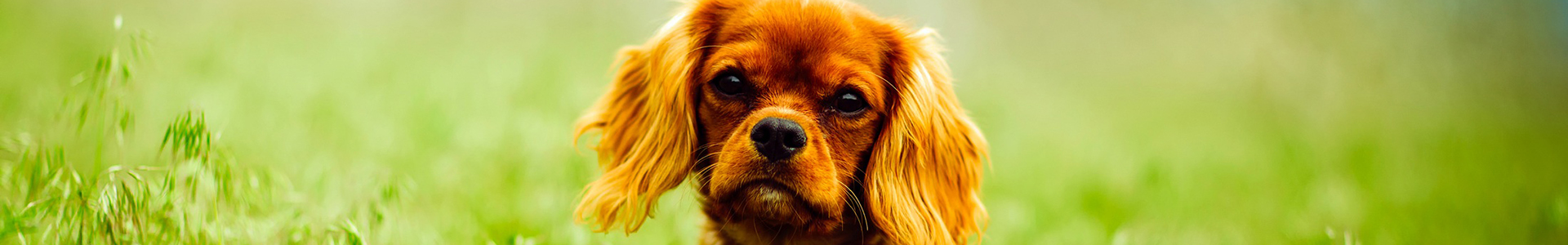 A red Cavalier King Charles Spaniel with sad eyes sits in a field of green grass.