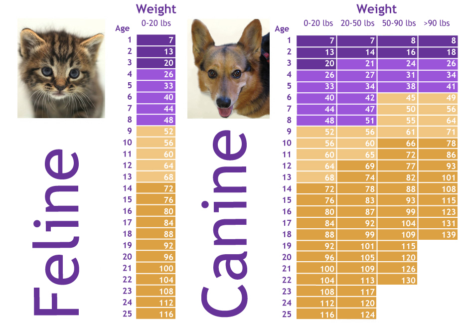 An infographic chart shows the relative ages of cats and dogs compared to human years. A brown tab by kitten and a Cardigan Welsh Corgi look at the viewer from each side of the chart.