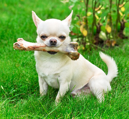 A tiny white chihuahua sits in the grass and holds a large raw bone in his mouth.