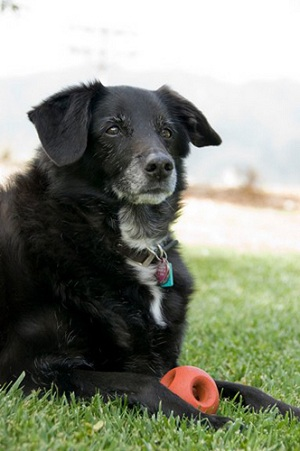 A black border collie mix with a gray muzzle and a white streak on her chest looks out from a field of grass with a red ball between her front legs.