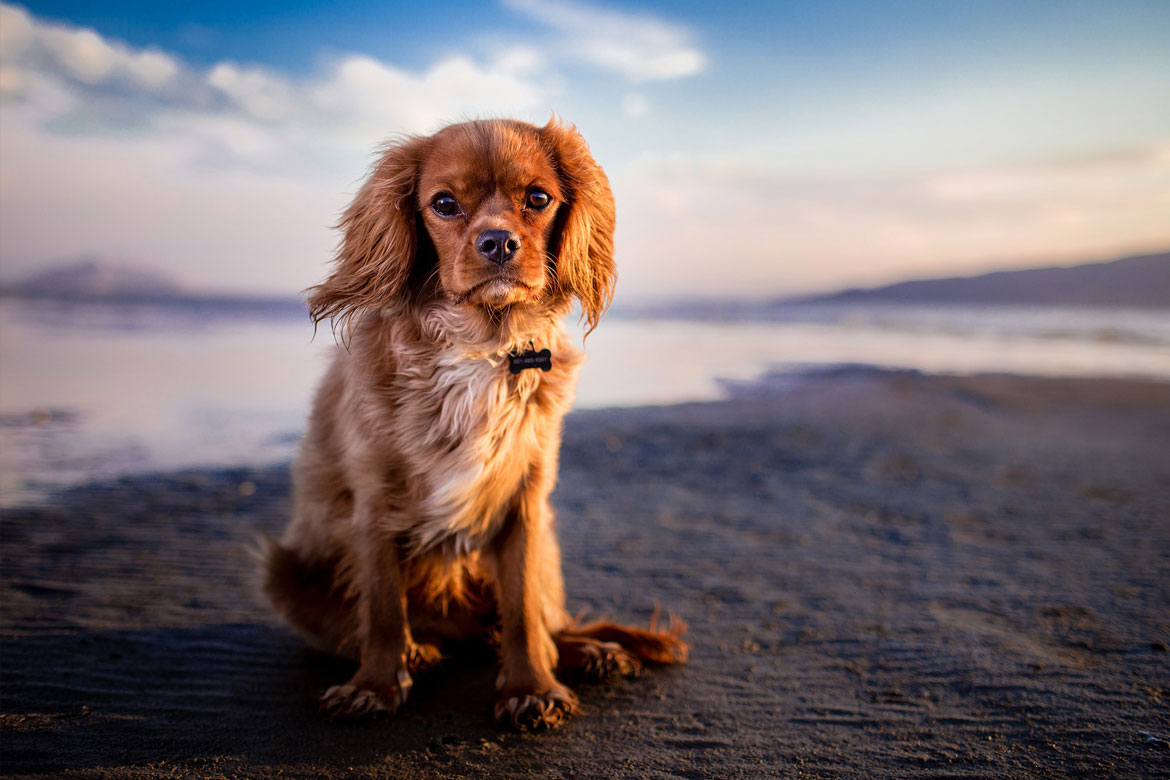 A red Cavalier King Charles Spaniel sits on the beachlooking at the viewer, her fur and long ears blowing in the breeze.