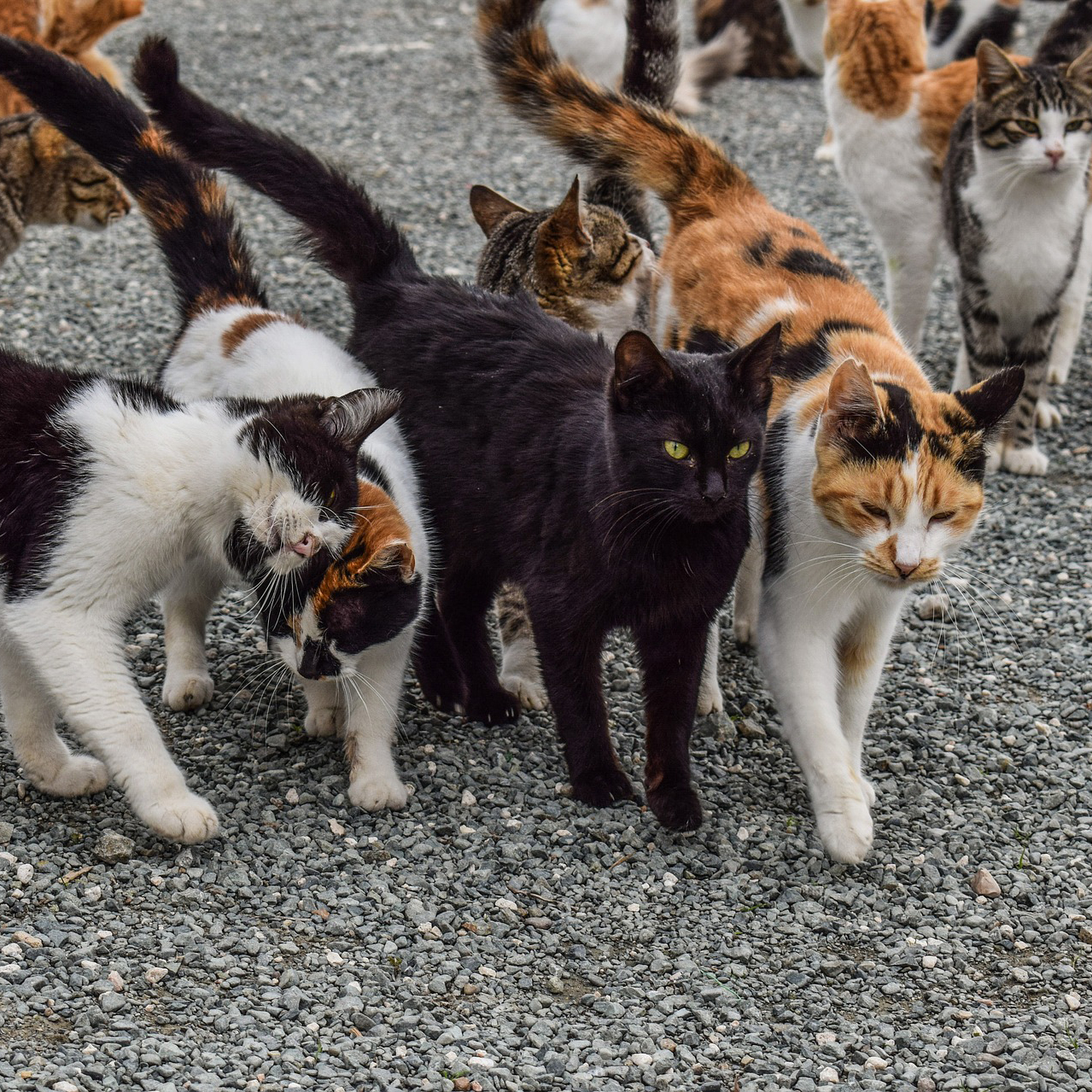 A large group of dirty and ragged looking calico cats roams the street.