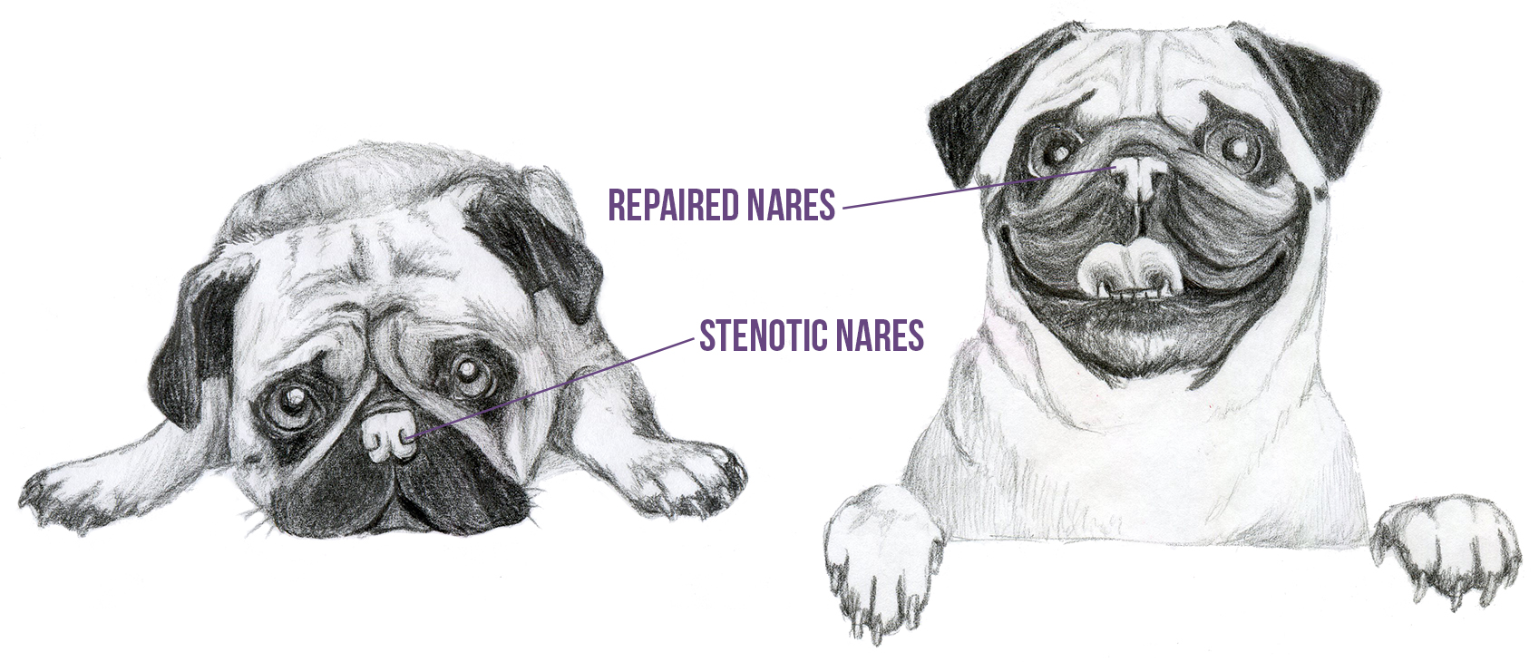 On the left, a drawing of a sad pug with tightly closed nares. On the right, a drawing of a happy pug with post operative opened nares.